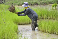 Thai farmer Stock Photos