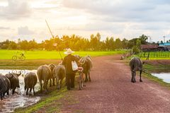 Thai farmer bring buffalo back home cross the dirt road near lake Stock Image