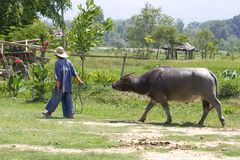 Thai Farmer with buffalllo. For the Thai farmer the Waterbuffalo is the same as the tractor in the Western world. The animal helps him with everything royalty free stock images