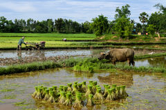 Thai Farmer with Buffalo Stock Photo