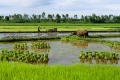 Thai Farmer with Buffalo Royalty Free Stock Photography