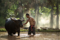 Thai farmer and buffalo royalty free stock photography