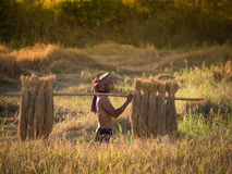 Thai farmer carrying the rice on shoulder after harvest. Stock Photo