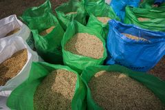 Thai farmer collect the rice in big bags during the harvest season, in a rice field in northeastern Thailand during the harvest pe Royalty Free Stock Photos