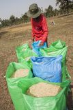 Thai farmer collect the rice in big bags during the harvest season, in a rice field in northeastern Thailand during the harvest pe Stock Photos