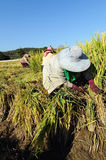Thai Farmer cutting rice in filed. Royalty Free Stock Images
