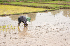 Thai farmer is doing rice farming. Stock Photo