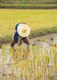 Thai farmer is doing rice farming. Stock Photos