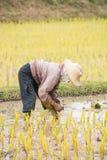 Thai farmer is doing rice farming. Stock Images
