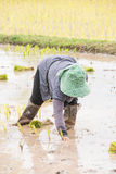 Thai farmer is doing rice farming. Royalty Free Stock Photography