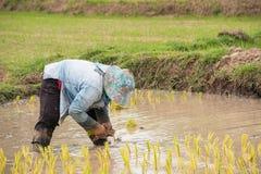 Thai farmer is doing rice farming. Royalty Free Stock Photos