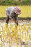 Thai farmer is doing rice farming. Stock Image