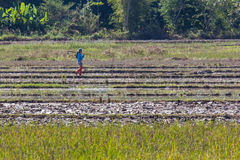 Thai farmer in field Royalty Free Stock Photography