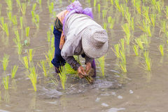 Thai farmer growing rice Stock Photo