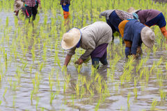Thai farmer growing rice Royalty Free Stock Image