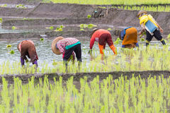 Thai farmer growing rice Stock Images