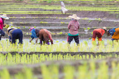 Thai farmer growing rice Royalty Free Stock Photos
