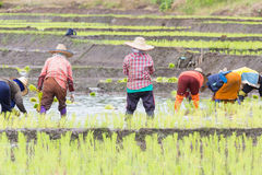 Thai farmer growing rice in Northern Royalty Free Stock Photography