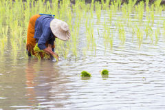 Thai farmer growing rice Stock Photos