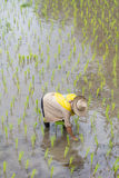 Thai farmer growing rice Royalty Free Stock Images