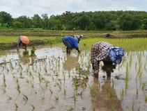 Thai farmer growing rice Royalty Free Stock Photography