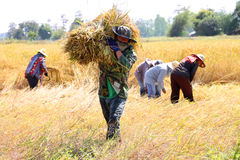 Thai farmer in the harvest time. BORABUE, MAHASARAKAM, THAILAND - NOVEMBER 14 : The unidentified group of farmers are at work in traditional way of life at the stock photography