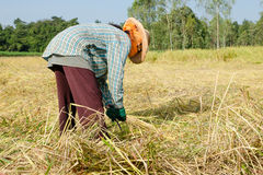 Thai farmer harvesting the rice in rice field Royalty Free Stock Image