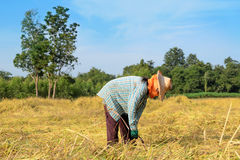 Thai farmer harvesting the rice in rice field Royalty Free Stock Images