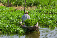 A Thai farmer harvests water spinach Stock Photography