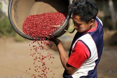 Thai farmer harvsting red beans. Unidentified farmer from a Lisu tribe filtering the new red beans harvest in the village of Ban Nong Tong, north Thailand, on Stock Image
