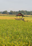 Thai farmer hut in rice field. With blurred foreground stock photos