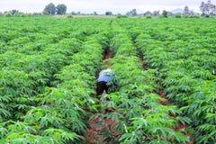 Thai farmer in plaid shirt weeding in cassava plantation Stock Photos