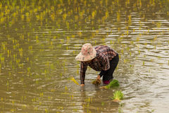 Thai farmer plant new rice Stock Photo