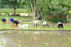 Thai farmer planting Royalty Free Stock Photography