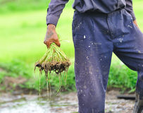 Thai farmer planting on the paddy rice farm Stock Photo