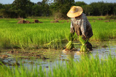 Thai farmer planting on the paddy rice farmland Stock Image
