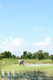 Thai farmer planting on the paddy rice farmland Stock Photography