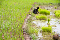 Thai farmer planting on the paddy rice Royalty Free Stock Images