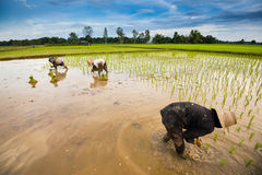 Thai farmer planting. On the paddy rice farmland royalty free stock images