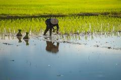 Thai farmer planting. Thai farmer planting on the paddy rice farmland Royalty Free Stock Photography