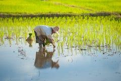 Thai farmer planting. Thai farmer planting on the paddy rice farmland Stock Image