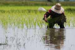 Thai farmer planting on the paddy rice farmland Royalty Free Stock Images