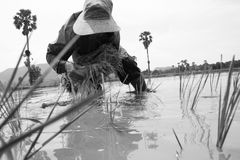 Thai farmer planting on the paddy rice farmland Stock Images