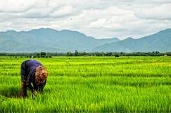Thai farmer planting on the paddy rice farmland. Thailand royalty free stock image