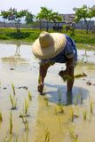 Thai Farmer planting rice Royalty Free Stock Photo