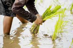 Thai farmer planting rice in the farm. Royalty Free Stock Image