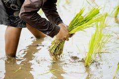 Thai farmer planting rice in the farm. Royalty Free Stock Image