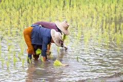 Thai farmer planting rice stock image