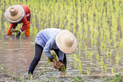 Thai farmer planting rice Stock Photography