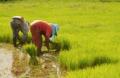 Thai farmer preparation rice seedlings Stock Image